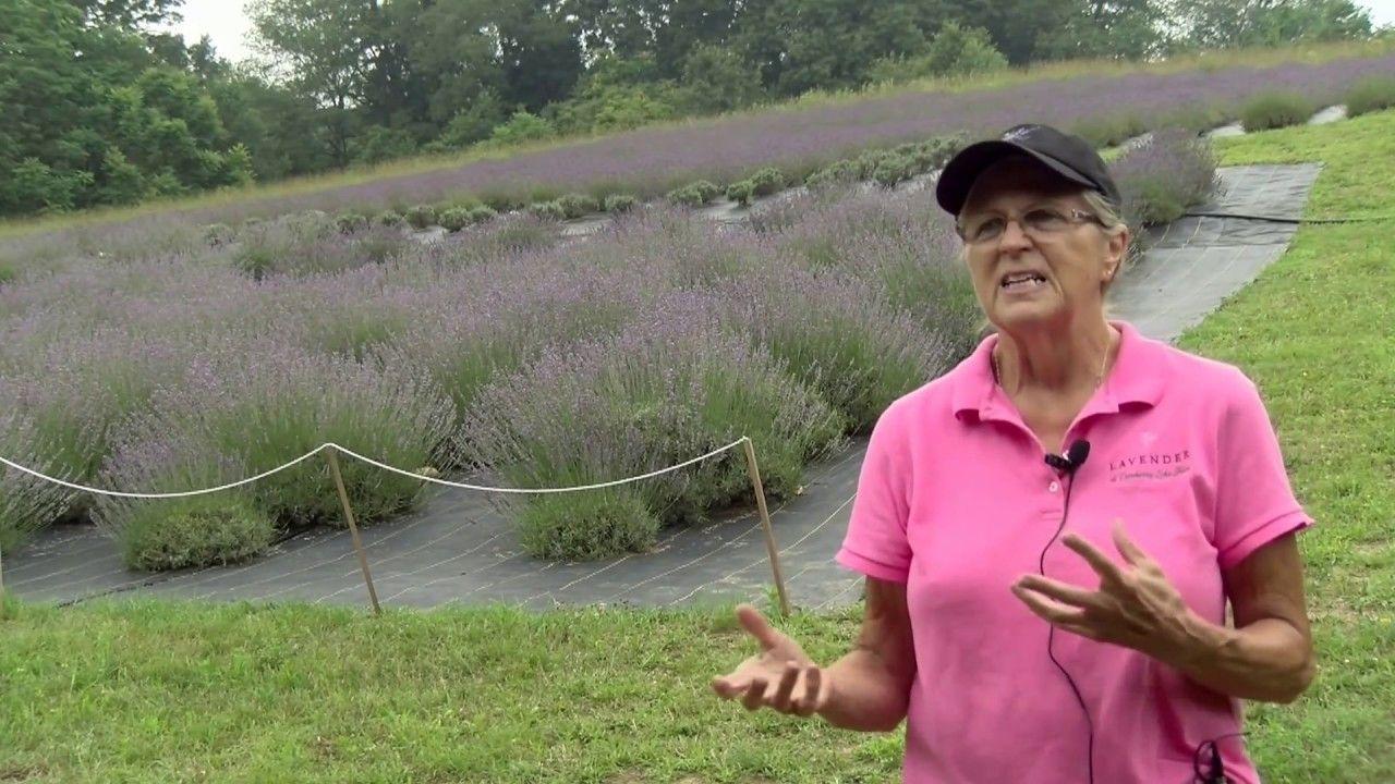 Cranberry Lake Lavender Farm Tour Farm tour, Lavender