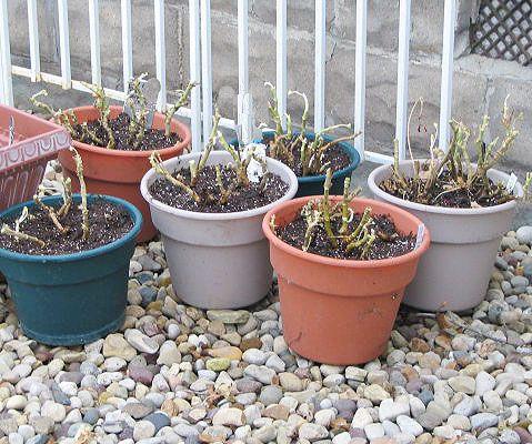 GERANIUMS CARE - Geranium Care Overwintering Geraniums