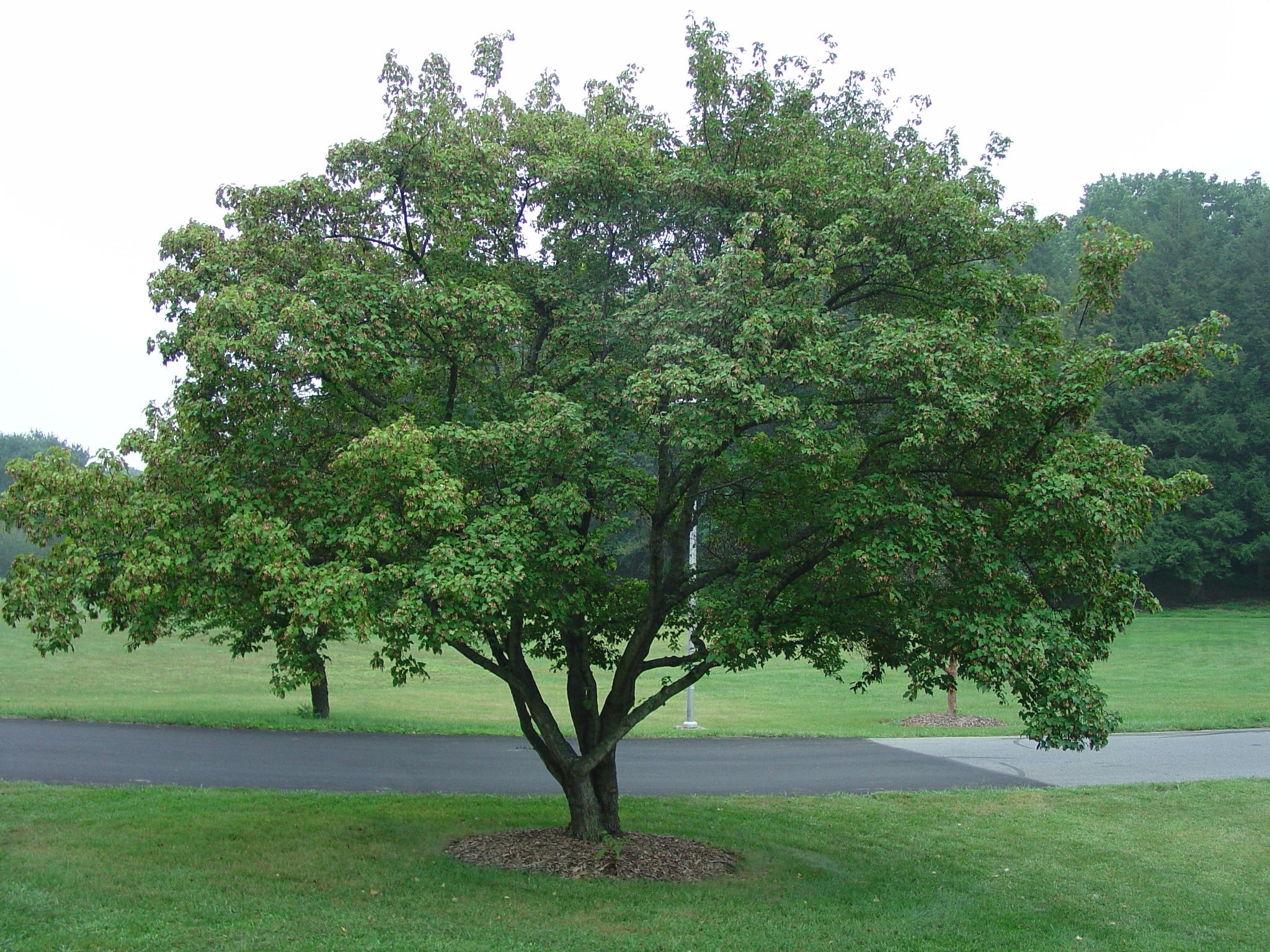 Amur maple google search trees pinterest maple for Maple trees for small gardens