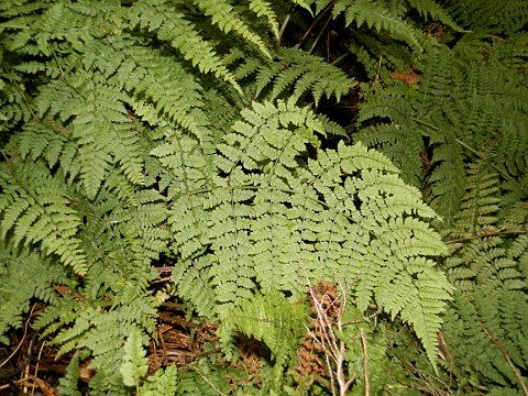 Dryopteris guanchica - From Tenerife, Canary Islands, Spain