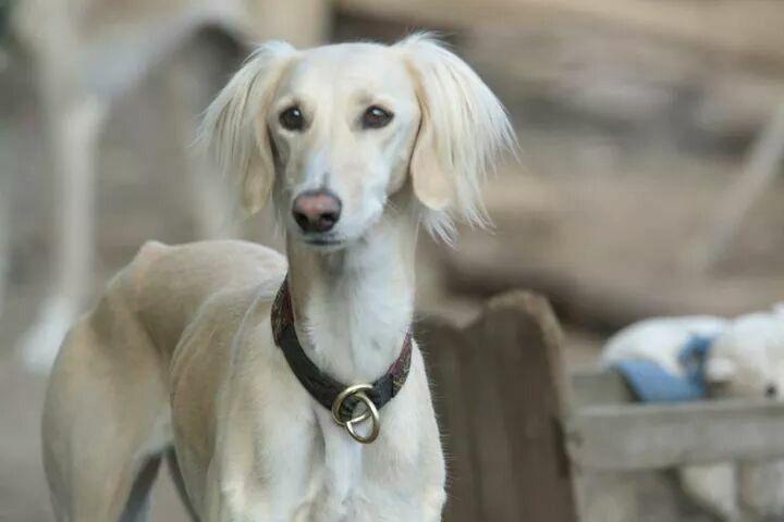 Saluki Welpen Ortenberg Vdh Saluki Persischer Windhund
