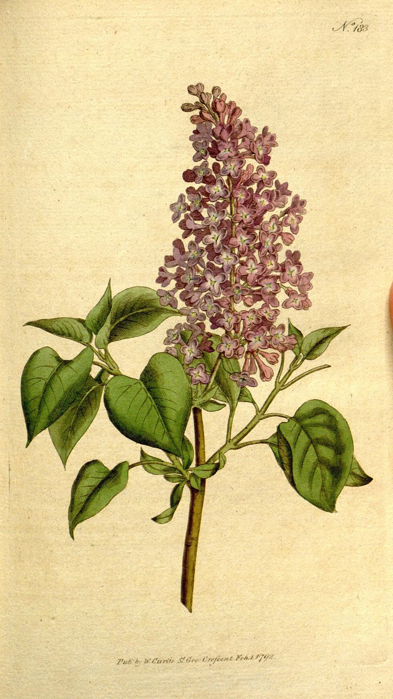 Lilac Botanical Illustration Drawing Painting Vintage Botanical Prints Botanical Illustration Language Of Flowers