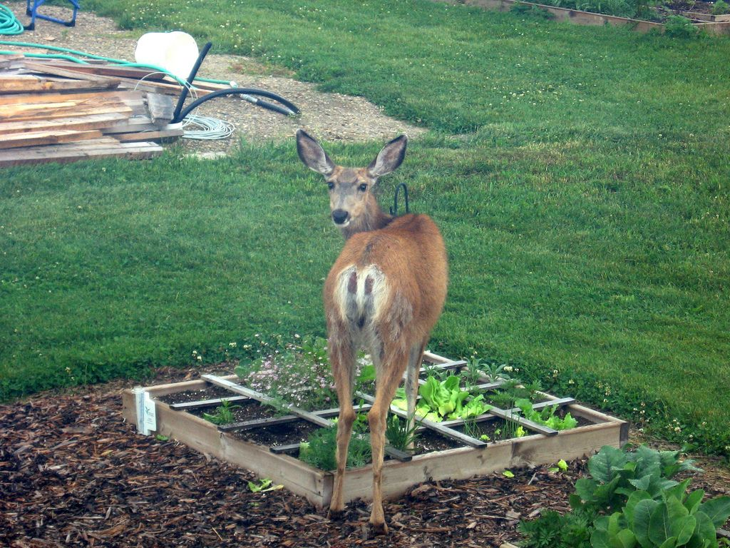 Vegetable garden deer fence ideas - Liquid Fence Recipe A Natural Way To Repel Rabbits And Deer From Eating Your Garden