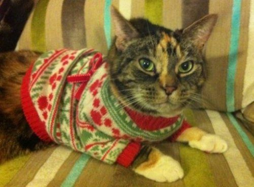 Cats in Christmas sweaters (10 photos) | CATS- CUTE, FUNNY ...