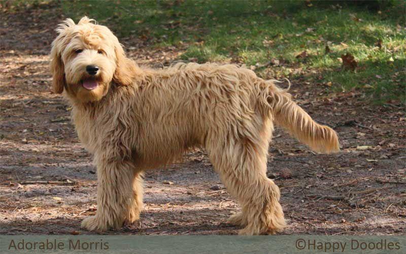 Labradoodle Morris Mit Bildern Labradoodle Welpen Welpen Hunde
