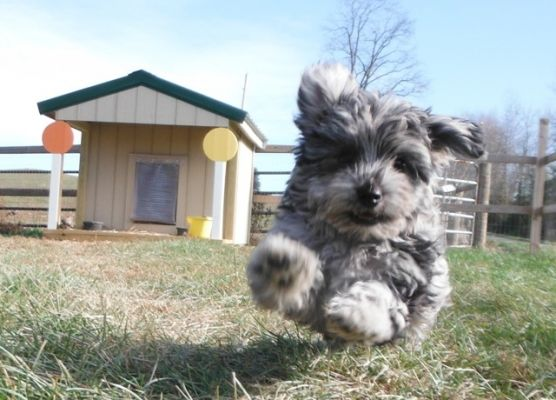 Yorkiepoo Puppies For Sale Pookie Pom Pup Yorkie Pomeranian Poodle Mix Breed Dog Yorkie Poo Puppies Puppies For Sale
