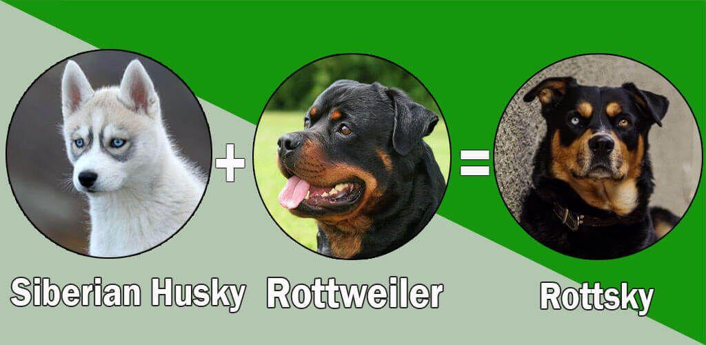 Top 10 Unreal Rottweiler Cross Breeds Rottweiler Rottweiler Mix