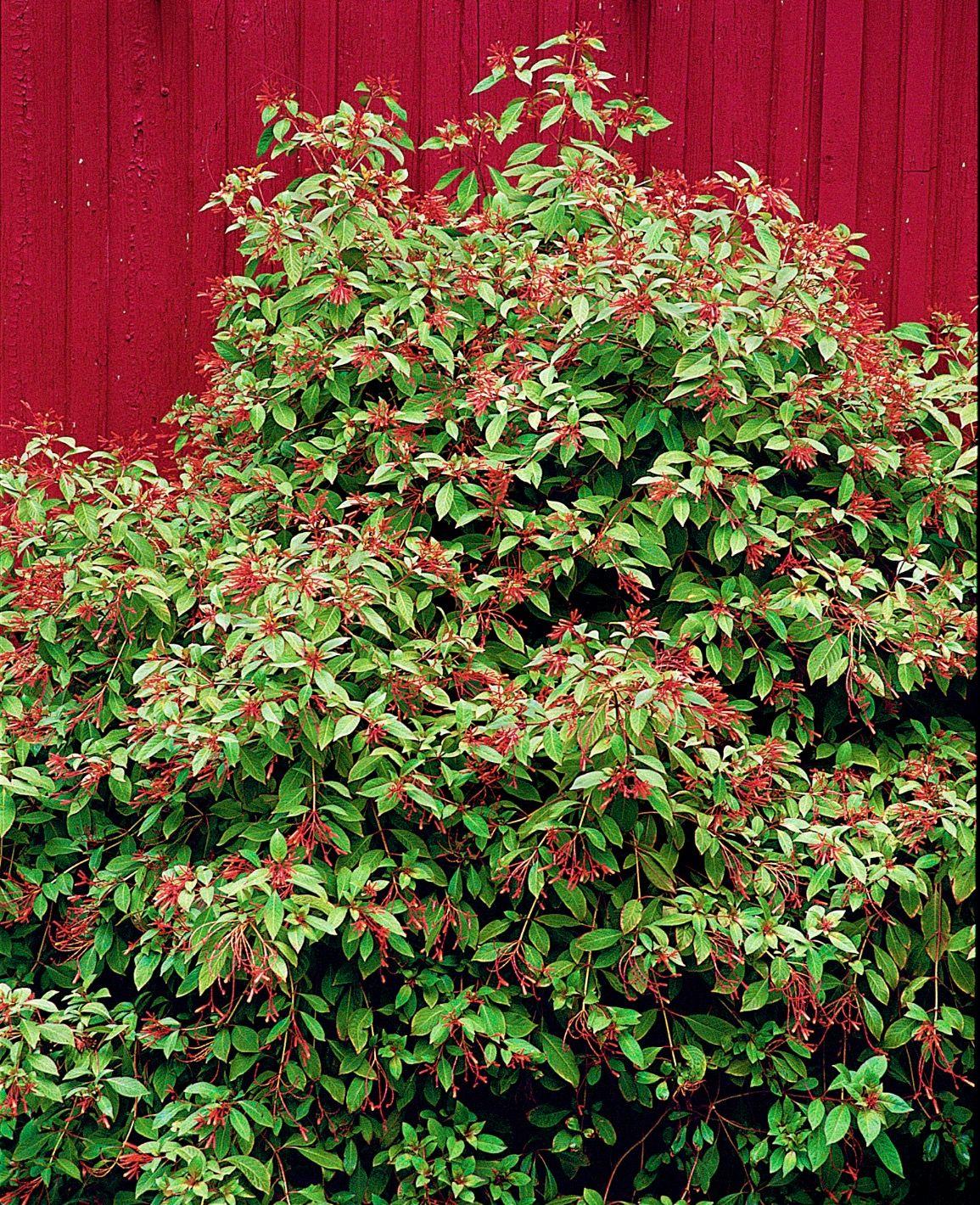 Garden Bush: Calusa Firebush (Hamelia Patens 'Calusa' Shrub, Great