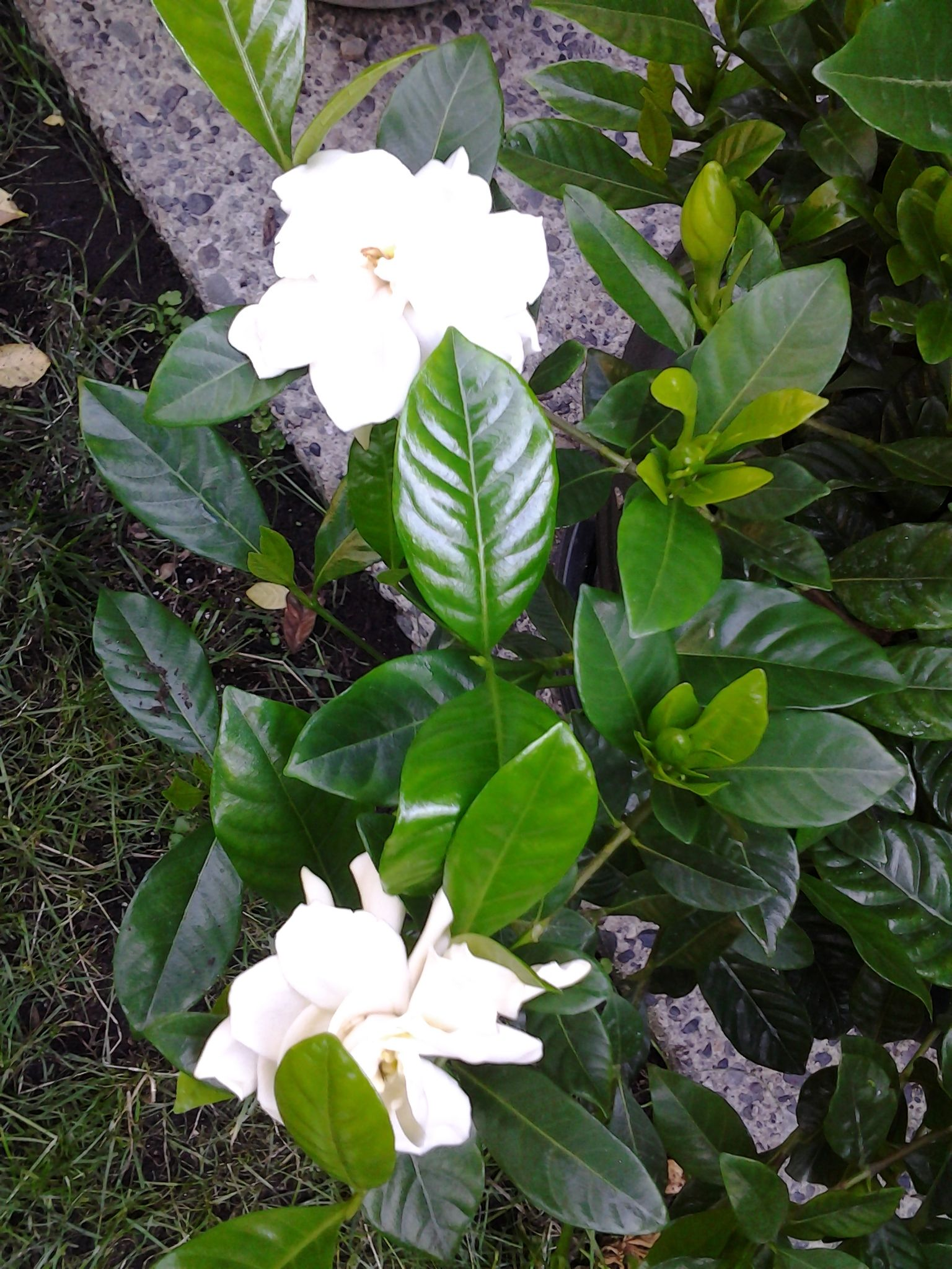 Pin By Georgia Petropoulos On Gardenias Gardenia Plants