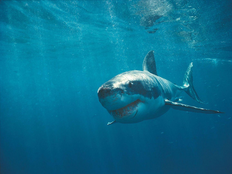 表面付近の白いサメ 動物 高解像度で壁紙 ホホジロザメ サメ 動物
