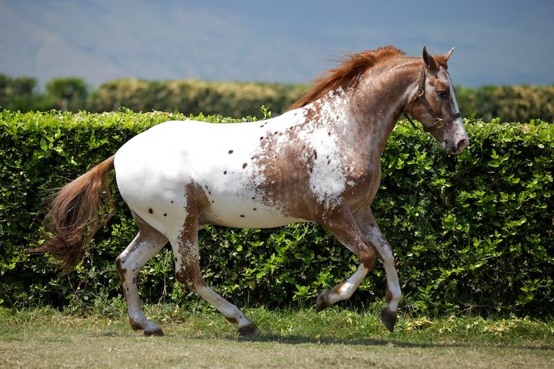 marble appaloosa google search appaloosa horses