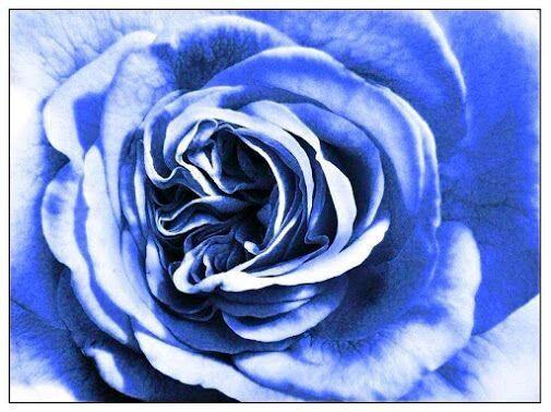"myidampan: ""#Hmm #Blue #Rose #Rosa #BlueRose not Pink like #idaPink #photoimp #photograph by #DylanImp #idamariapan #idealeconcepts #idaDerrida treatise concerning the Principles of Human knowledge..."