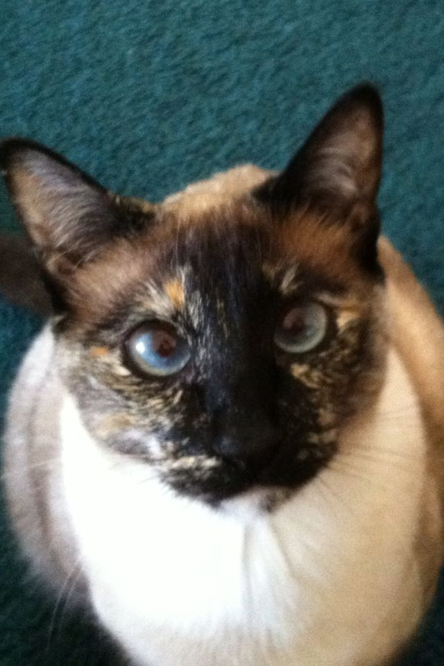 Chloe Jjs Sister Tortie Siamese Siamese Cats Cats Meow Animals