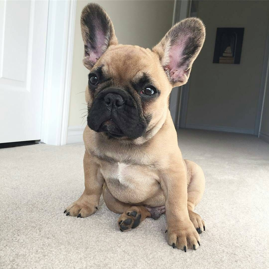 Good Morning Human Where S My Breakfast Typical French Bulldog
