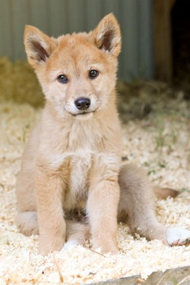 Dingo Pups Pad Around In Perth Dingo Dog Zooborns Wild Dogs