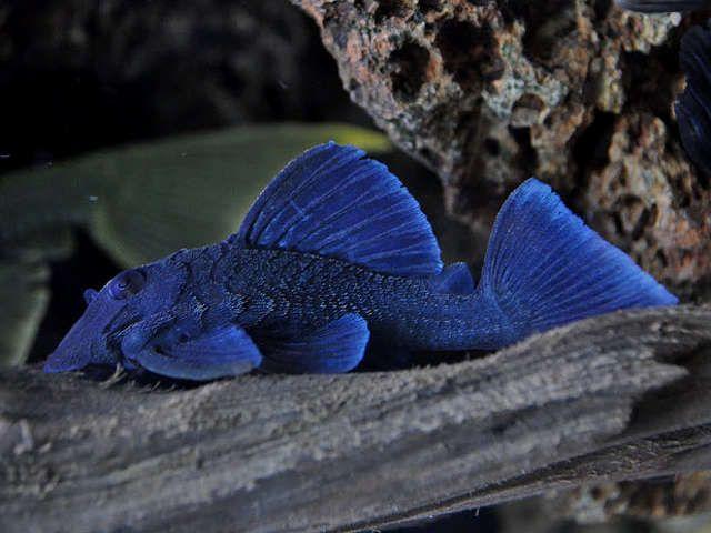 L239 Blue Panaque Pleco Pleco Fish Aquarium Fish Tropical Freshwater Fish