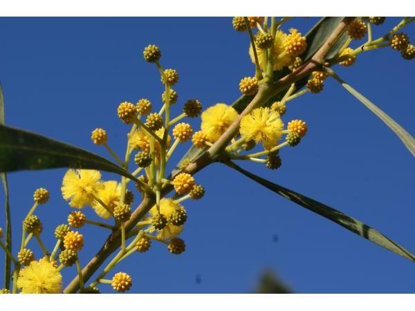 Mimosa, 60/70 cm P9 - Acacia Dealbata : acheter en ligne sur Jardins Du Monde. Pépinière, jardinerie en ligne. Livraison partout en Europe