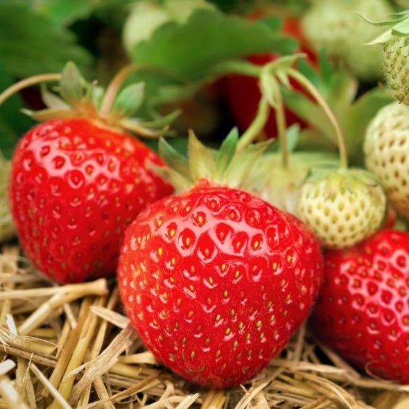 fraisier remontant mara des bois