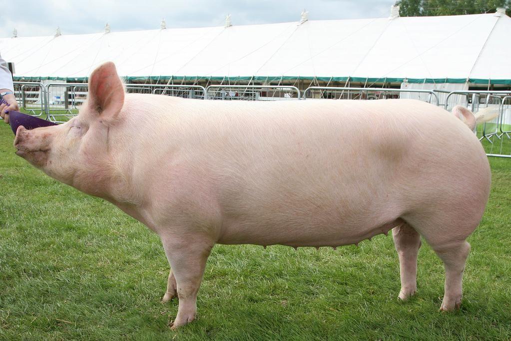 WMN Farming on Pig breeds, Pet pigs, Cute animals