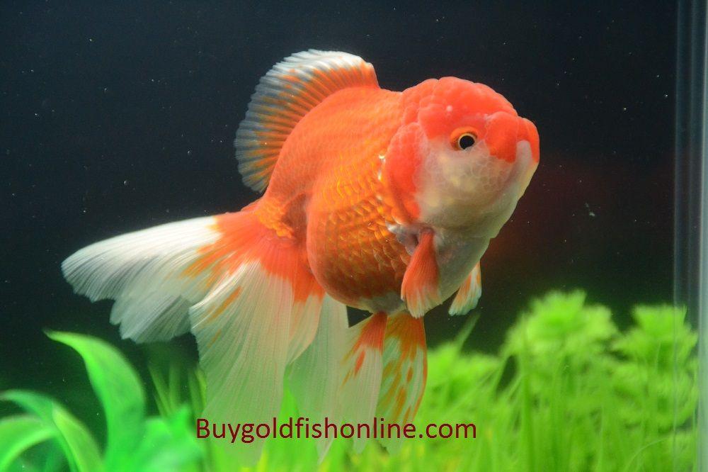 Red And White Thai Oranda Goldfish Buygoldfishonline Com Goldfish Oranda Goldfish Cute Fish