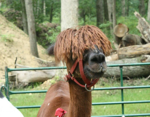 emo-llama-curly-hair   Cute animals   Animals, Funny animal videos
