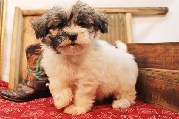 Dogs Puppies For Sale Petland Round Lake Beach Illinois Havanese Puppies Puppies Puppies For Sale