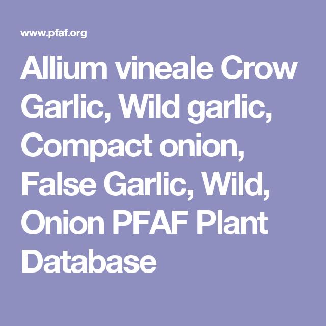 Allium vineale Crow Garlic, Wild garlic, Compact onion, False Garlic, Wild, Onion PFAF Plant Database