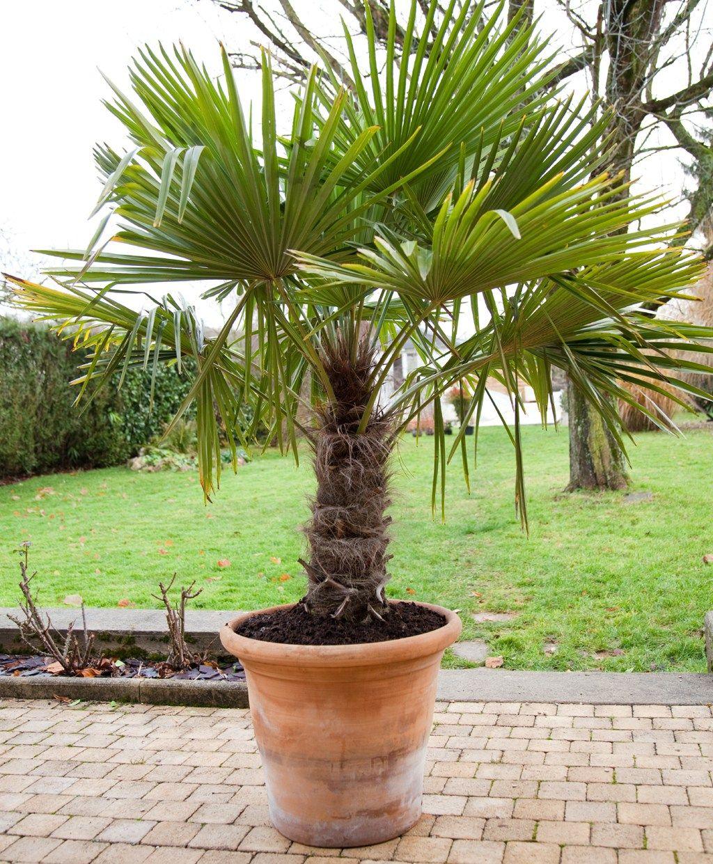prot ger un palmier avec une canisse jardin pinterest. Black Bedroom Furniture Sets. Home Design Ideas