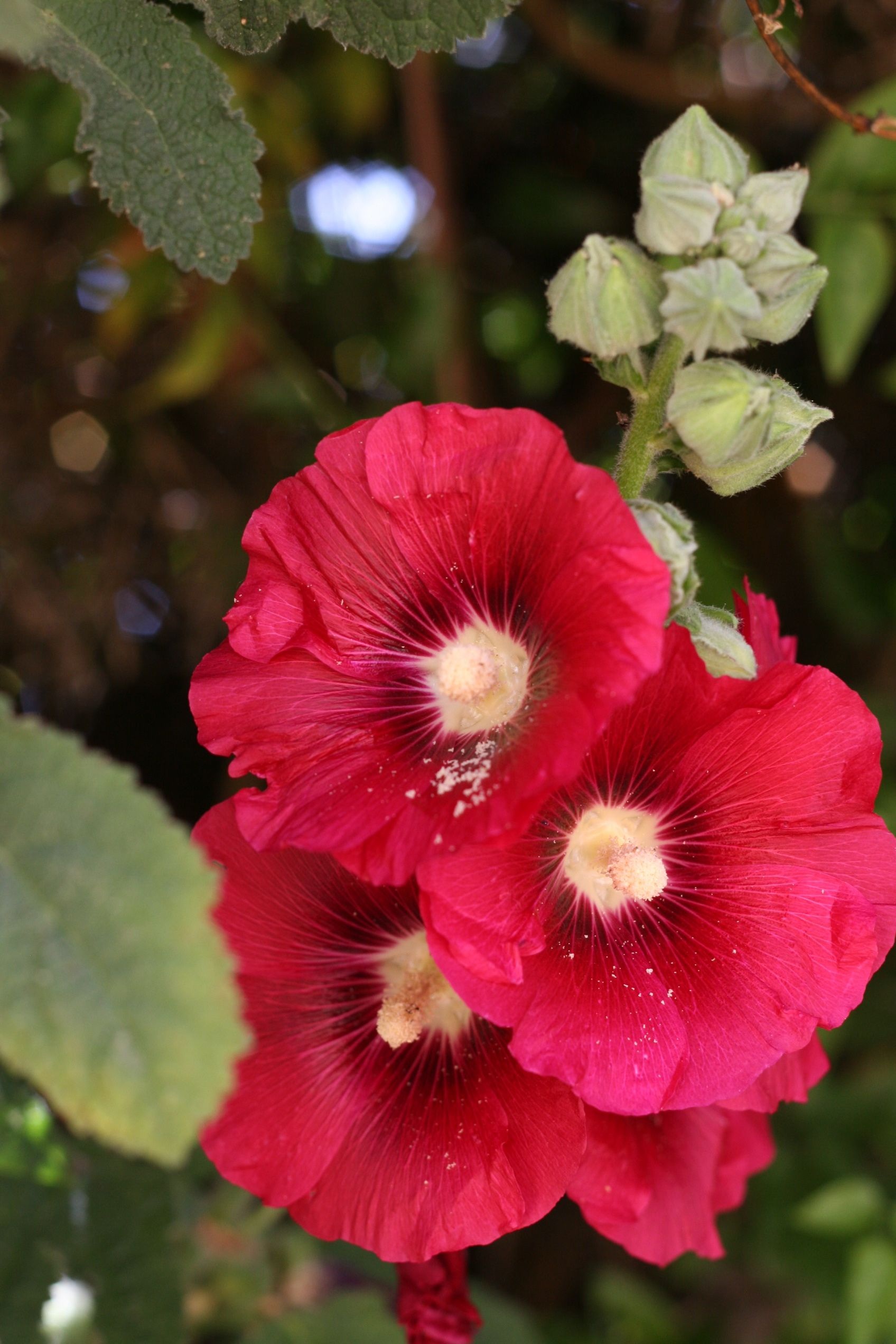 A splash of patriotic red for our early July gardens. #hollyhock