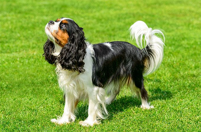 Image result for Cavalier King Charles Spaniel images