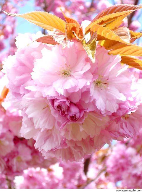 Kwanzan Flowering Cherry Prunus Serrulata Kwanzan Cottage Magpie Flowering Cherry Tree Ornamental Cherry Prunus Serrulata