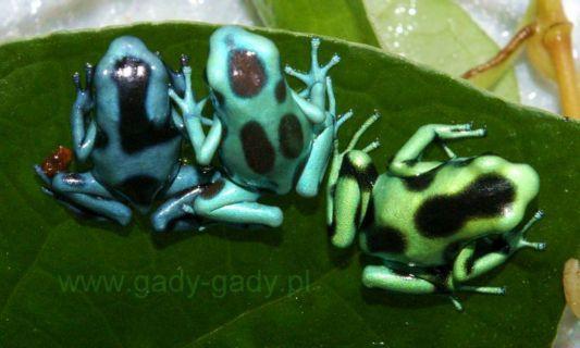 Dendrobates auratus 'Blue'