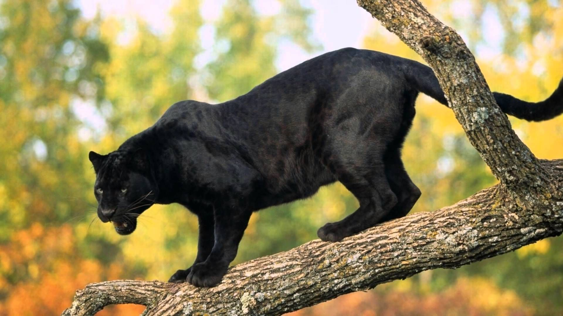 Beautiful Animals Of The World Maxresdefault Jpg Panther Black Panther Animals