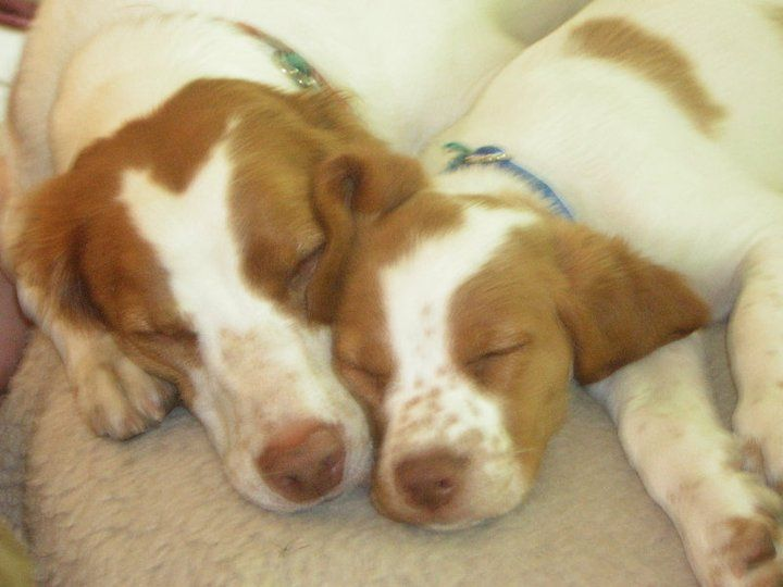 Brittany Spaniels An Aunt And Her Sobrina Brittany Spaniel Cute Animals Dogs And Puppies