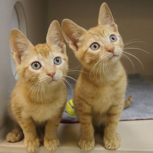 Adopted Billy And Teddy Are 3 Month Old Neutered Males Orange Tabby Domestic Short Hair Kittens Billy And Teddy Are B Cute Cats Cats And Kittens Tabby Cat