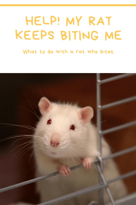 Help! My rat keeps biting me! Rattie Ratbags in 2020