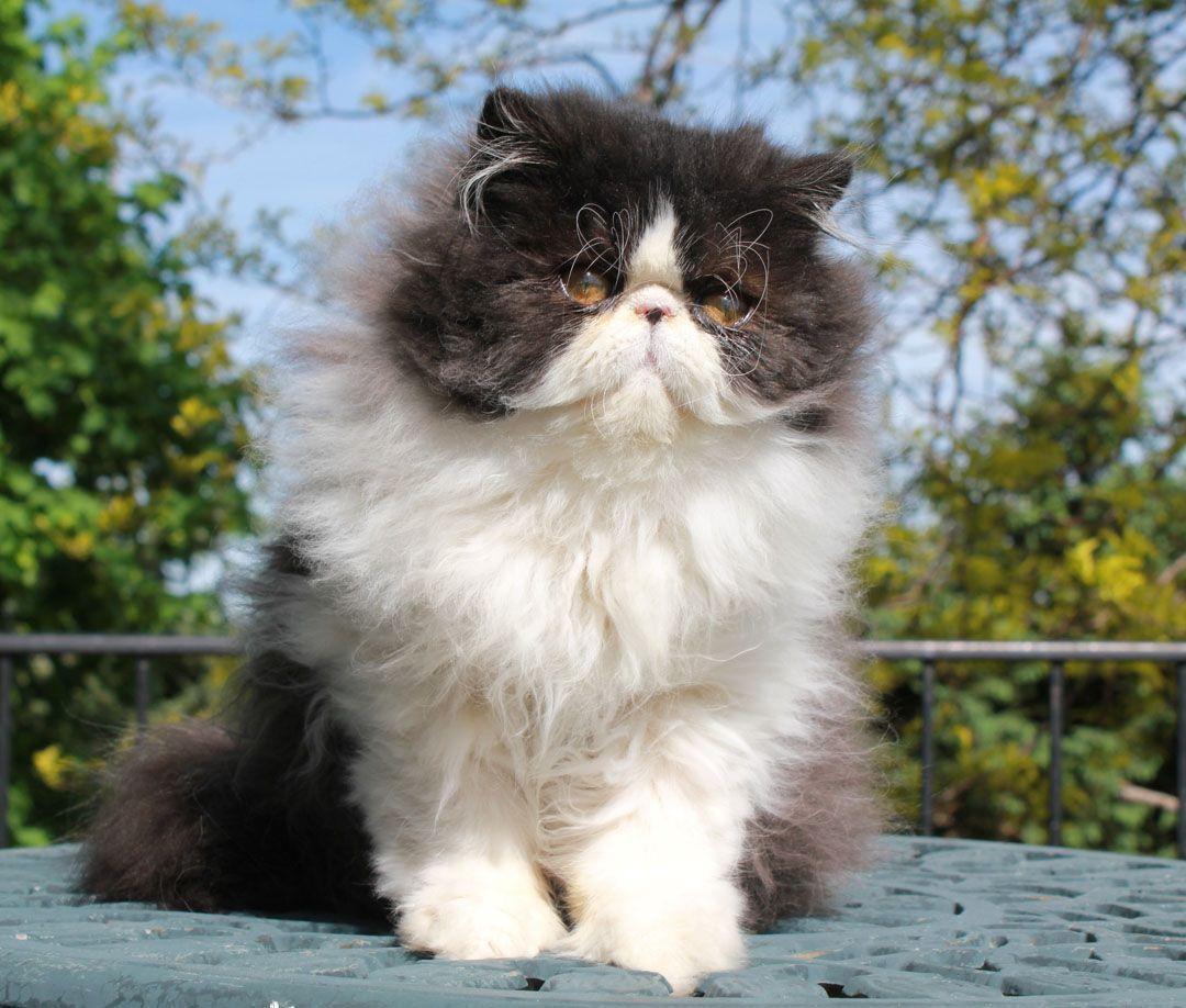 Alfenloch Night Stars Black White Male Persian Kitten