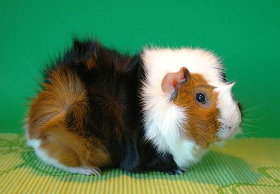 Tricolor Abyssinian Guinea Pig Maailman Guinea Pigs This Is They Color Breed I Am Hoping To Get Guinea Pigs Guinea Pig Breeding Guinea Pigs Cute Gu