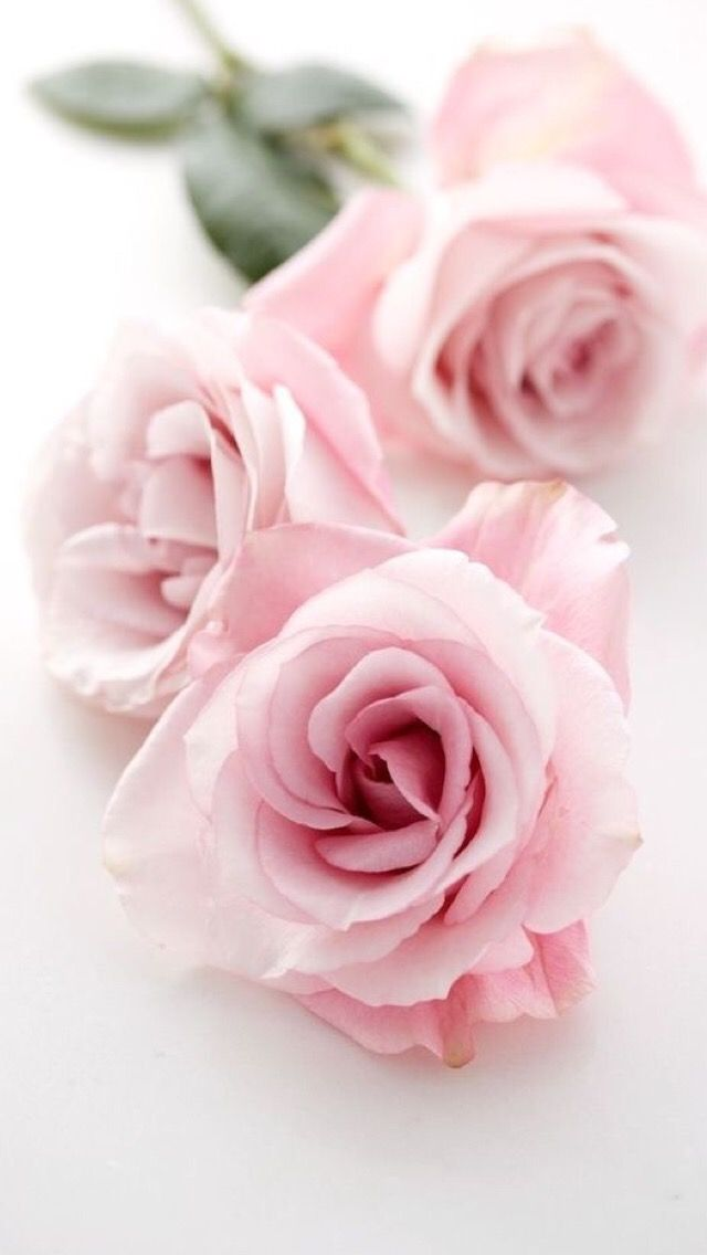 IPhone Wallpaper Roses Glass TilesPale PinkLight Pink RoseBright