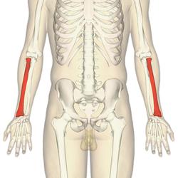 Radius - anterior view2.png Kość promieniowa. Łączy się z nadgarstkiem