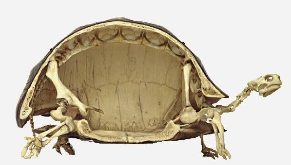Cross-section of a turtle skeleton...