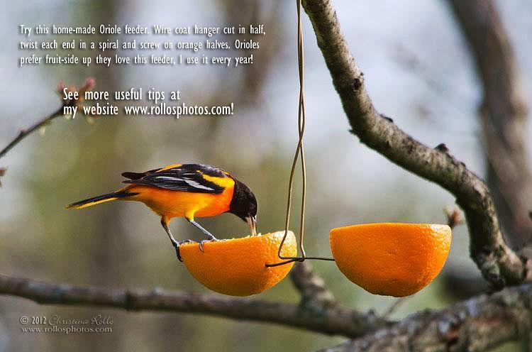 How To Make A Baltimore Oriole Feeder Backyard Birds Orioles Bird Feeders