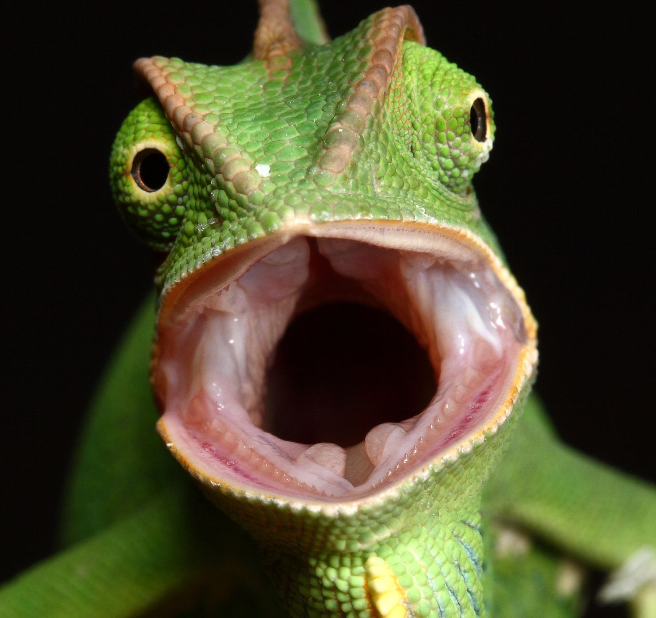 9075f277daa72e23a897f59824c3378a - How To Get A Chameleon To Open Its Mouth