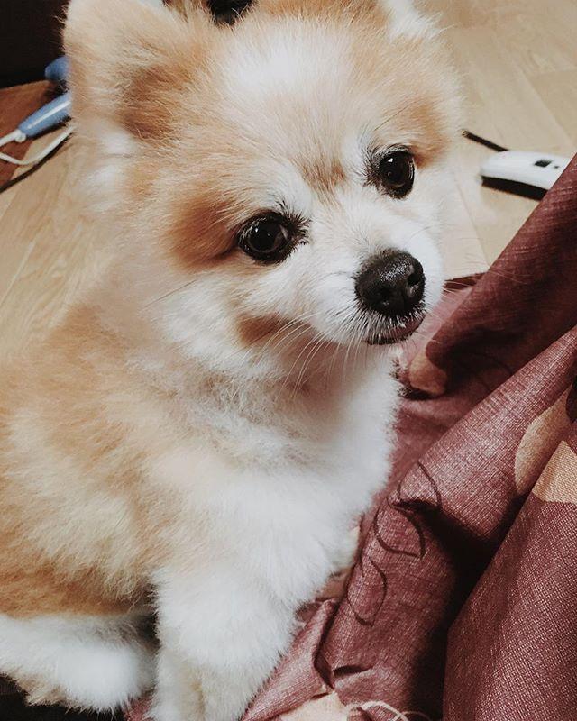 ポメラニアン ぽめらにあん ぽめちゃん ぽめ ポメ 犬 愛犬 わんちゃん