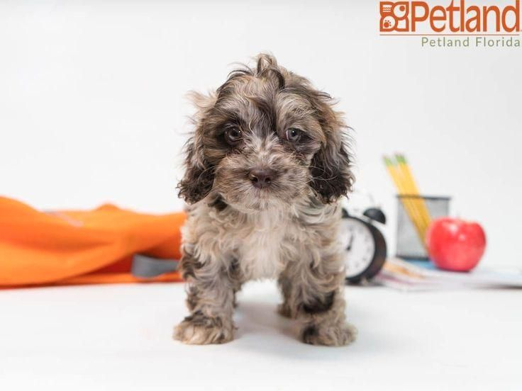 #cockapoo  #puppy  #doglover  #adorable  #dog  #cute  #pet  #dogoftheday  #photooftheday  #puppylove  #puppies  #puppyoftheday #Florida #Cockapoo Petland Florida has Cockapoo puppies for sale! Check out all our available puppies!