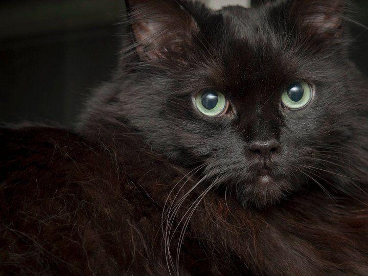 Ebony Cat | Pawshake