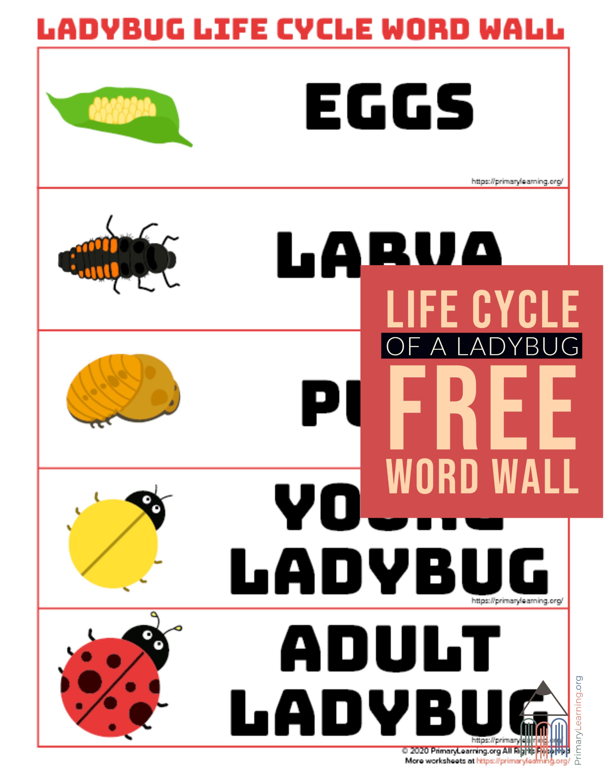 Ladybug Life Cycle Word Wall In