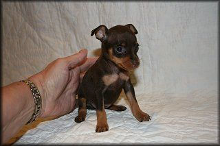 Min Pin Puppies Google Search Min Pin Puppies Miniature