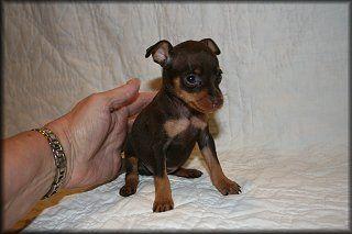 min pin puppies - Google Search