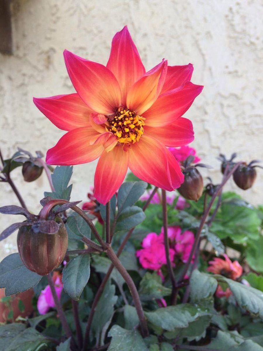 HGTV HOME Plants Elegant Sunrise™ Dahlia new for 2014